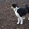 BOBBY ( dallas's new pup) 4