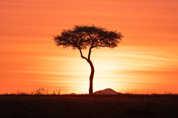 Acacia tree at Sunsrise