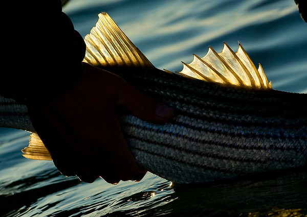 Casco Bay, Maine Striper Fishing - Jim Klug Photos