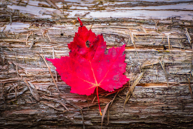 Red Leaf on Tree Trunk