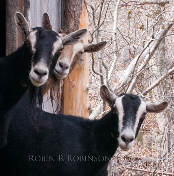 Goats are curious, social farm animals, Phippsburg, Maine