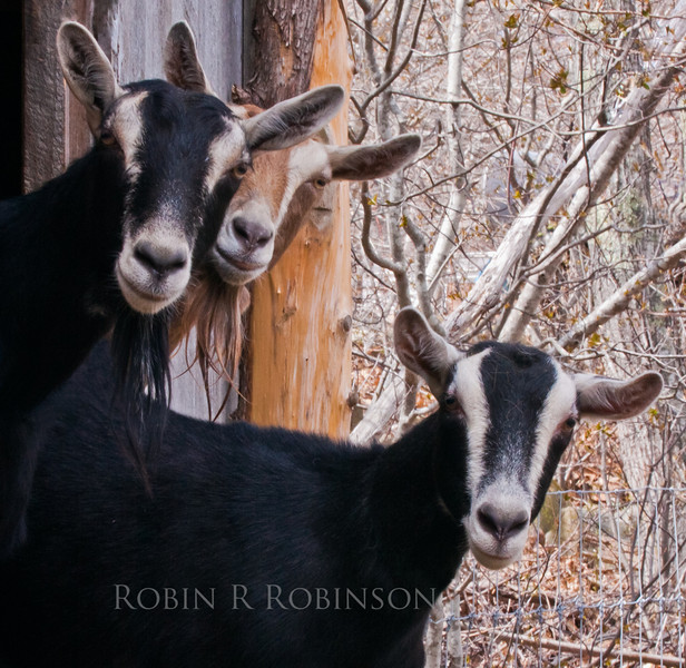 Three curious goat on a farm in Phippsburg, Maine