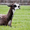 Lama talking, brown and white, Maine domestic ruminant