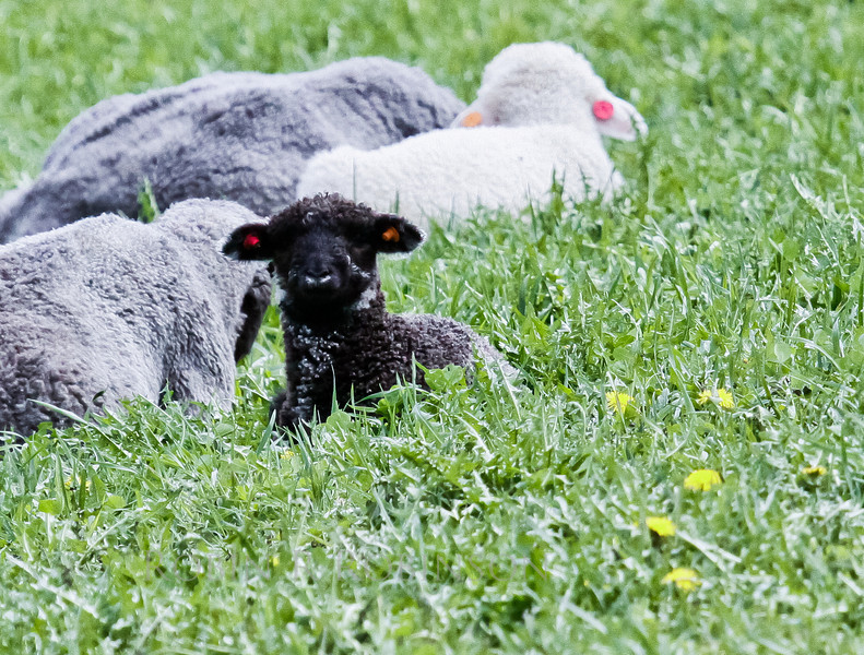 Black lamb in field with dandelions and white Sheep