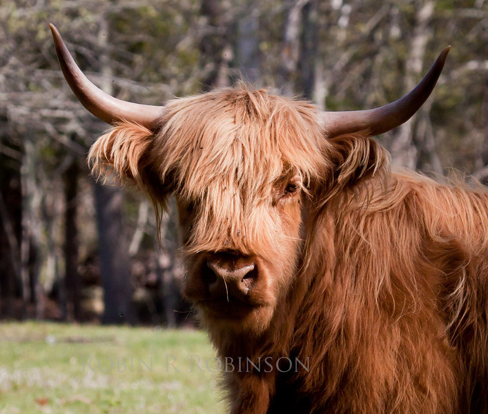 Red Highland cow with long horns and long, shaggy red hair, Maine domestic cattle