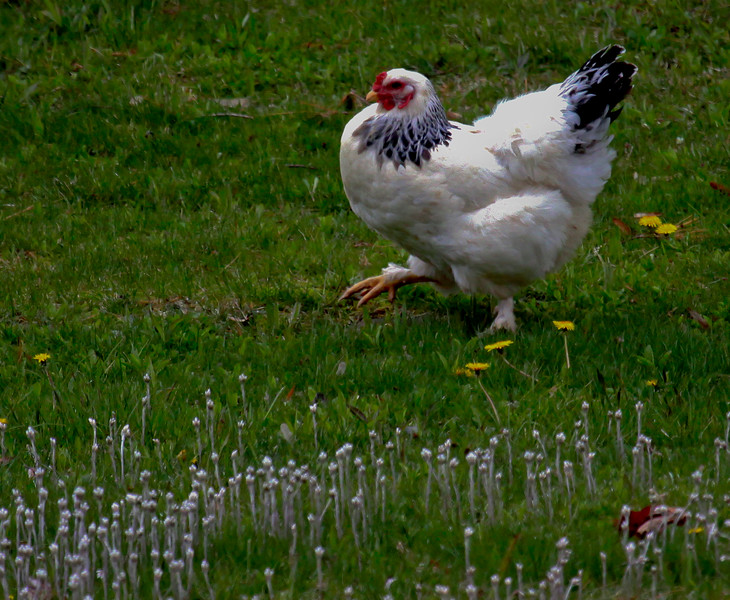 Chicken is free range in field with buttercups, dandelions and pussytoes wildflowers, Phippsburg, Maine