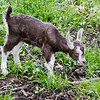 goat kid, baby goat, Phippsburg Maine, Level Three Farm