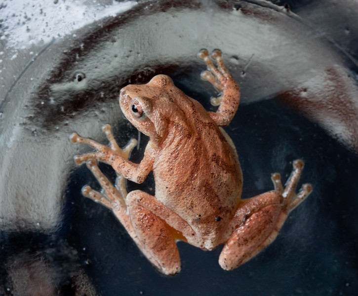Northern Spring Peeper, frog, June, Phippsburg, Maine amphibian, CUTE!