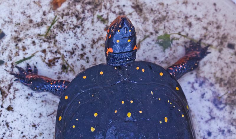 Spotted turtle, endangered, rare, Phippsburg Maine 2011