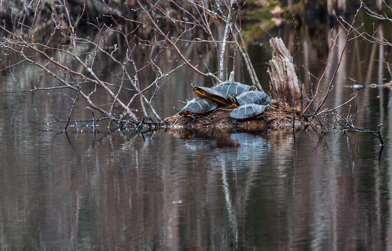 Eastern Painted Turtles in a pile, Phippsburg, Maine early spring.