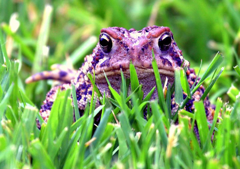Toad Stare Down