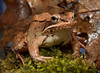 Wood frog close up, Phippsburg, Maine spring. They are a handsome frog with copper coloring and gold accents. I still wouldn't kiss one, though.