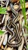 Ribbon Snake Phippsburg Maine