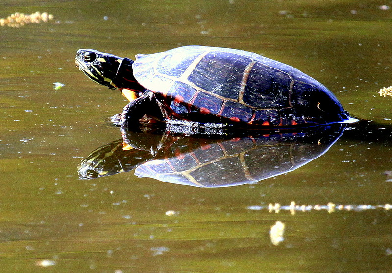 Eastern Painted Turtle side view