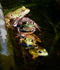 Green frogs, five Cox's Head, Coxs Head, Wilbur Preserve,