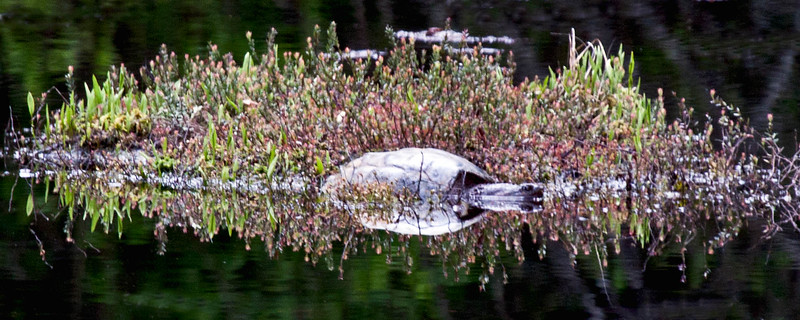 Snapping turtle basking on hummock of vegetation in a shallow pond, Phippsburg, Maine amphibian