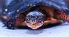 Spotted turtle head shot, Phippsburg Maine
