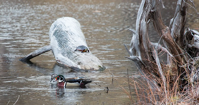 Bath, Maine, small flock of Wood Ducks. There were five ducks in this little migratory flock, one hen and four drakes. I found them in a tiny spot of pond in a cemetery. I visit the pond off and on while there is open water. It is less than two feet deep, so it freezes early and thaws late. I have photographed turtles, ducks and muskrats in  the pond many times. Today, I saw the first of the season turtles and a muskrat. In addtion were these Wood Ducks, also first of season finds. I don't always see Wood Ducks in there, and never more than one. This was a real treat.