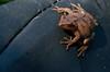 tiny Tree frog, close up, Phippsburg, Maine amphibian, August