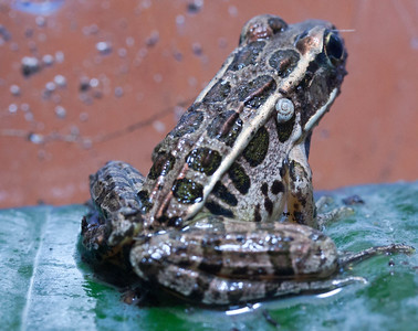 a Pickerel Frog with a snail on its back, Phippsburg, Maine