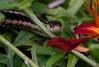 Garter Snakes are common in Maine gardens. Phippsburg, Maine