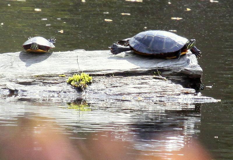 Painted Turtles Basking