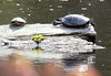 Painted Turtles Basking
