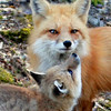 "Red Fox ""Kiss Me!"""
