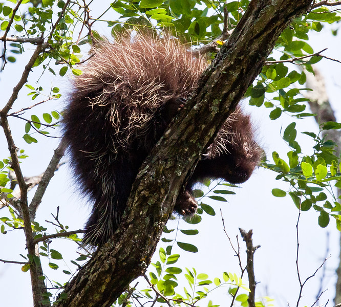 Baby porcupine in a Black locust tree, Phippsburg, Maine