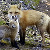 Red Fox Mother & Kit