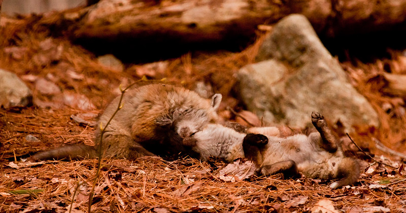 tussling and tumbling fox kits, Phippsburg Maine