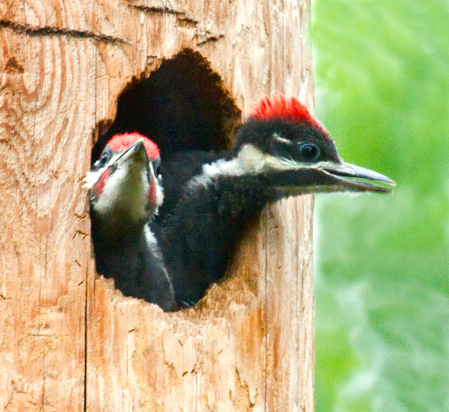 Pileated Woodpecker, red crested, black and white bird is Maine's largest woodpecker, Phippsburg, Maine insect eating bird, Hermit Island