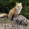 Red Fox Mother & Kit, Phippsburg, Maine