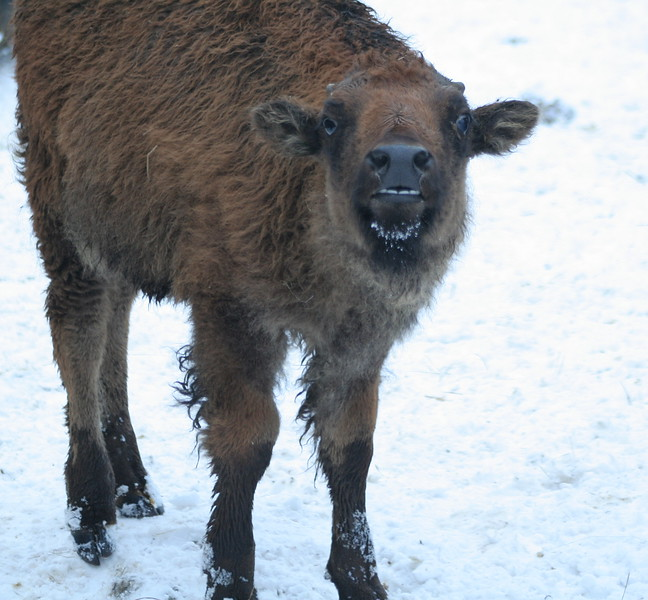 """Baby Bison, """"CHeese!"""""""