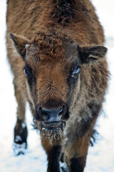 Baby bison, North Bath, Maine