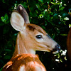 fawn, White-tailed deer