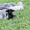 Black lamb, baby animal, sheep