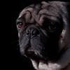"""I hate Mondays."" sad, Pug face"