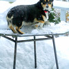 Our tri color Welsh corgi, Easy in the snow. She had jumped up onto this table unaided! She was a very inquisitive and agile dog.