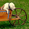 Pit bull puppy in antique, wooden wheelbarrow, Maine, Awe! Cute!