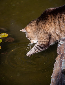 An old Tabby cat at the Kingsbrae Horticultural Gardens, Saint Andrews New Brunswick Canada, drinking from a fish pond by scooping water up with its paw. Or perhaps its trying for the wishing coins, which would make it a money cat!