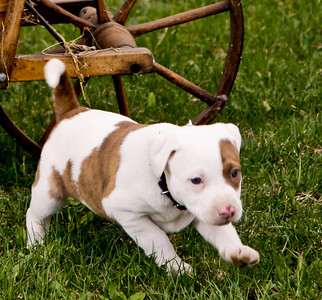 Pit Bull puppy running in grass