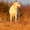 This yellow labrador retriever is named Riley. Early morning at Popham Beach State Park in the winter time.