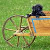 Black puppy in antique wooden wheelbarrow, cutie pie!
