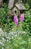 Bird house type feeder with blue geraniums and pink foxgloves, Chipmunk on the feeder, a wild rodent, Phippsburg, Maine, June