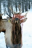 Elk with a wad of bailing twine on its antlers. Looks pretty funny! This photo was taken in Jefferson Maine