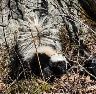 My husband had set a Havahart trap in our yard in the hopes of capturing for relocation as very large, Gray squirrel. Instead, he awoke to find this young Striped Skunk in the cage. More accurately, our dog found it first. We will be smelling skunk defense spray for a long time to come! Serves us right, I suppose. :)