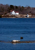 An uncommon Harp Seal, bull basking in The Kennebec River, Phippsburg, Maine with Squirrel Point Lighthouse in the background. This is a seal from the Arctic Circle. They are being reported more frequently on the coast of Maine.
