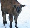 Baby Bison, Bath Maine in winter snow. Nice teeth!
