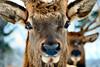 Elk, close up frontal view, Jefferson Maine